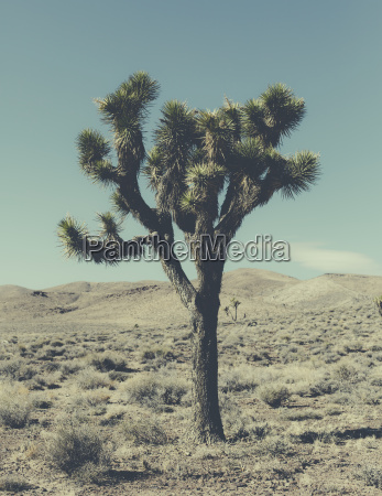 a single joshua tree yucca brevifolia