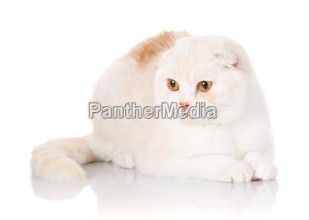 british, shorthair, cat, portrait, on, white - 20501901