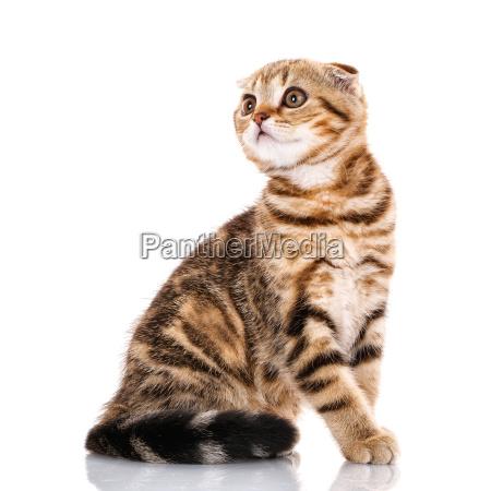cute, scottish, fold, cat, bicolor, stripes - 20502195