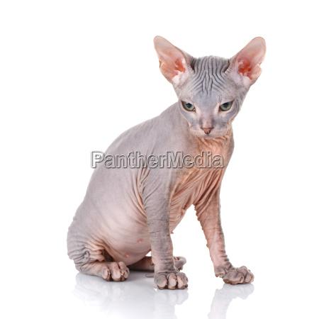 sphinx, cat, on, white, background - 20502203