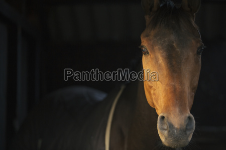 a thoroughbred bay horse head of