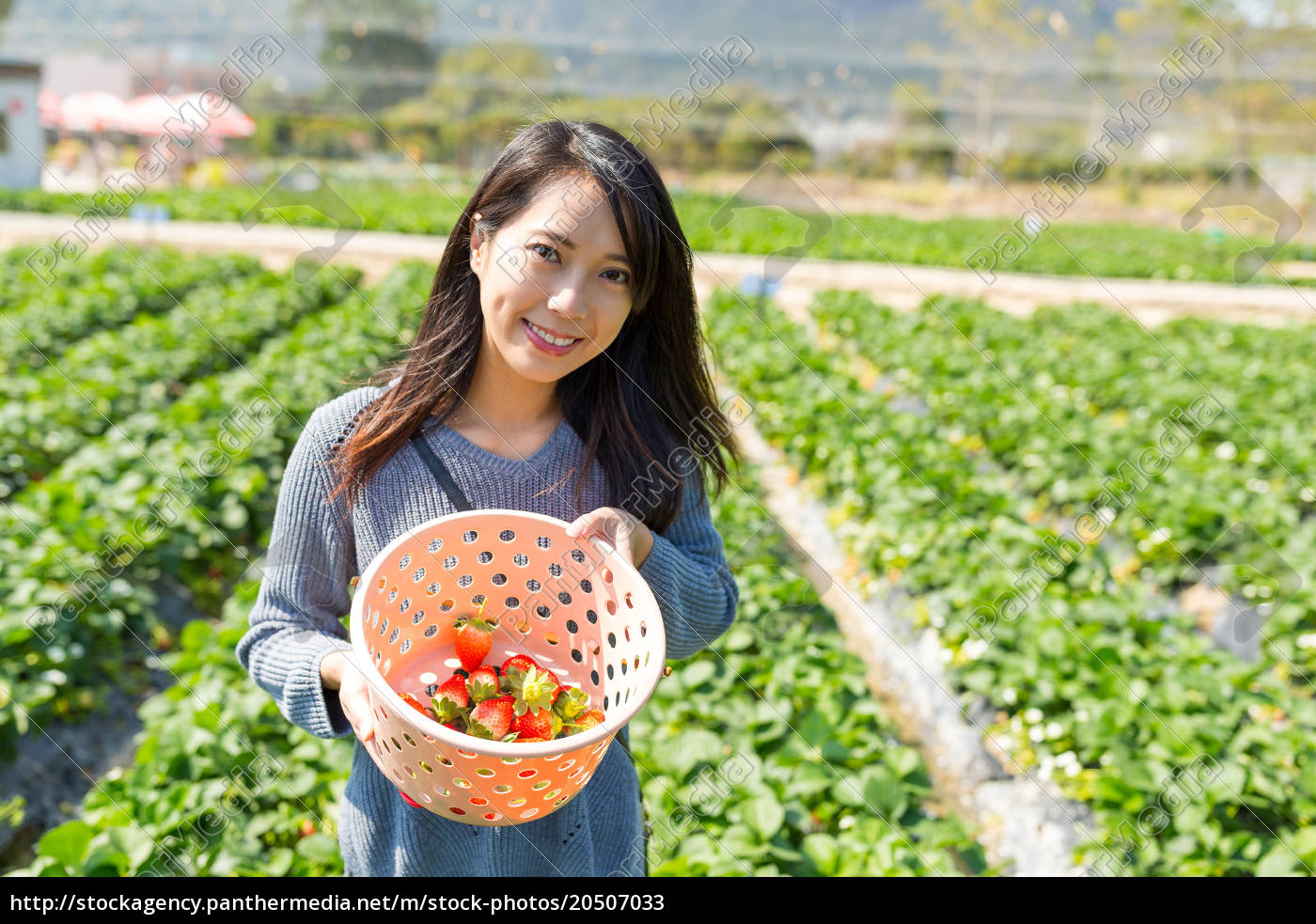 woman, picking, up, strawberry, from, meadow - 20507033