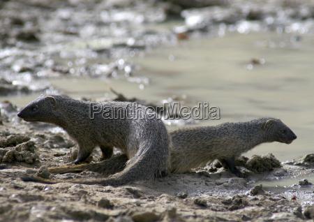 two egyptian mongoose in zakouma national