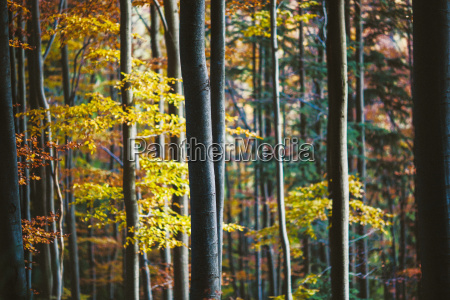 autumn colors in beech forest in