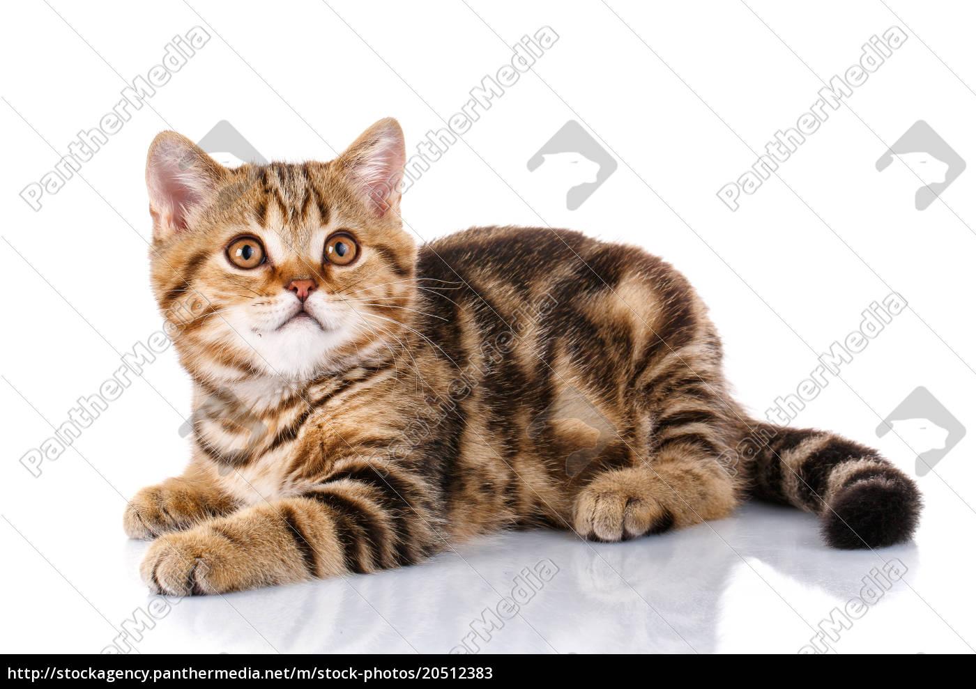 cat, lying, on, isolated, white, background - 20512383