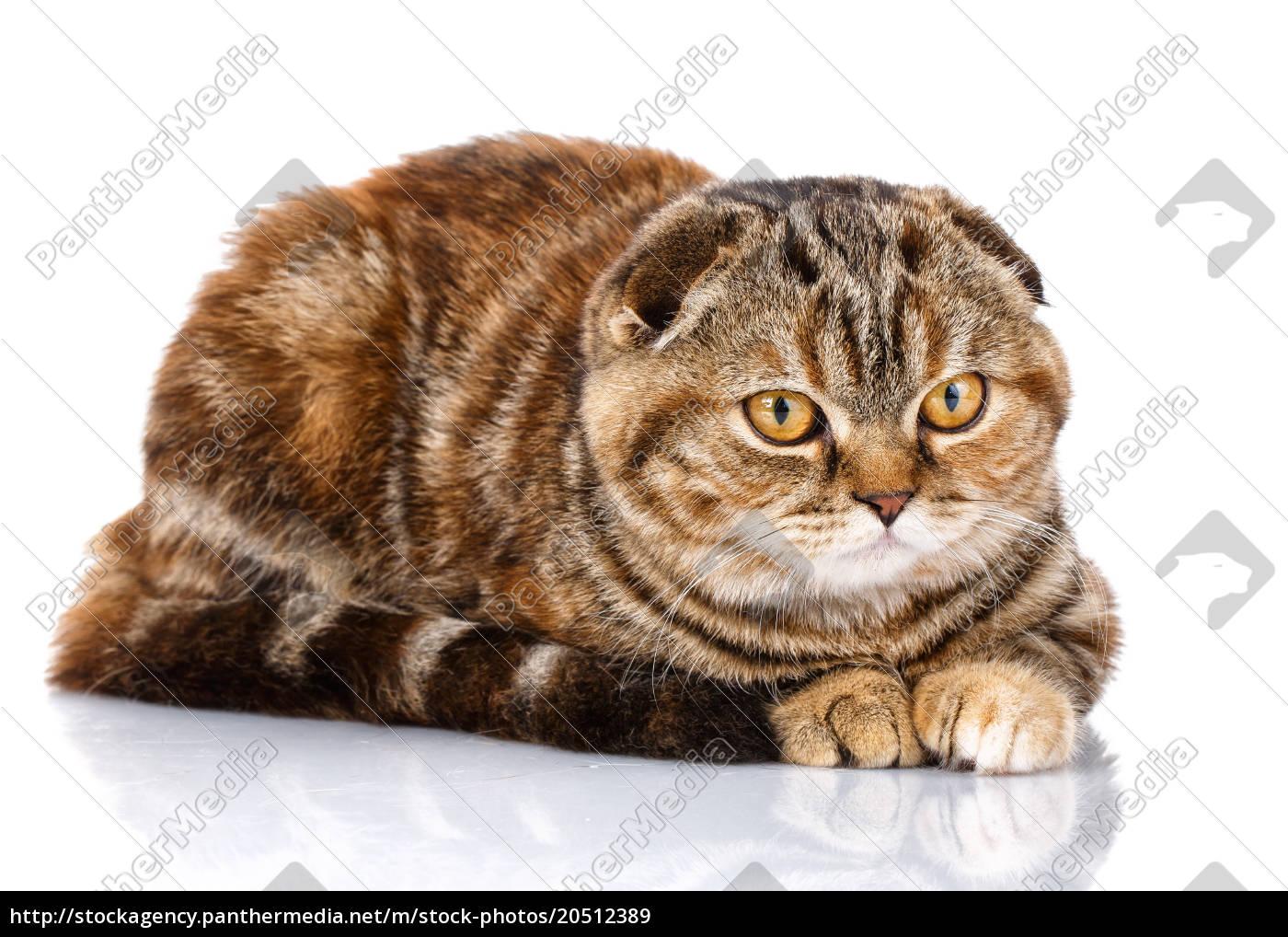 cat, scottish, fold, siting, on, white - 20512389