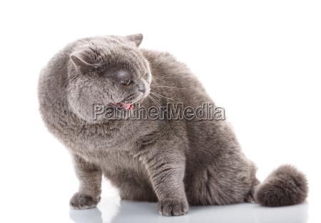 portrait, gray, evil, cat, british, straight - 20512289
