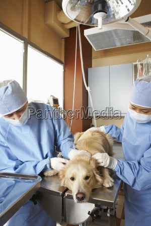 veterinarians working on dog