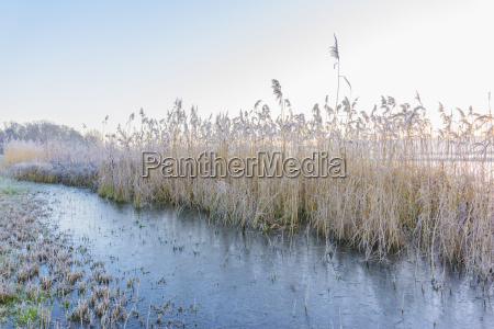 reeds covered in frost in winter