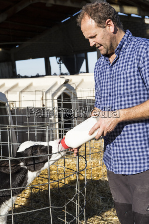 farmer feeding calf in stable