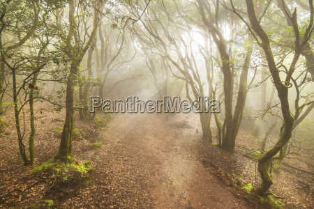 spain canary island tenerife misty forest