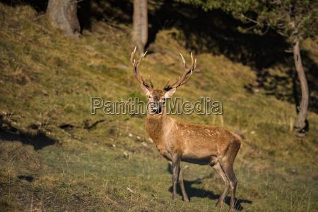 italy south tyrol funes valley deer