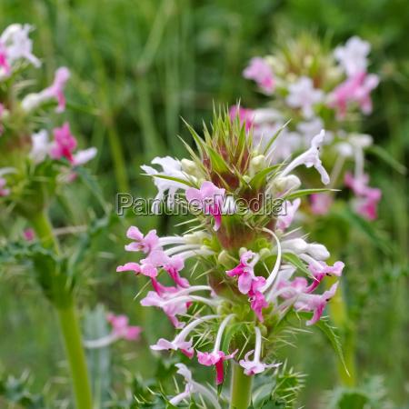 long leaved cardiac thistle morina longifolia