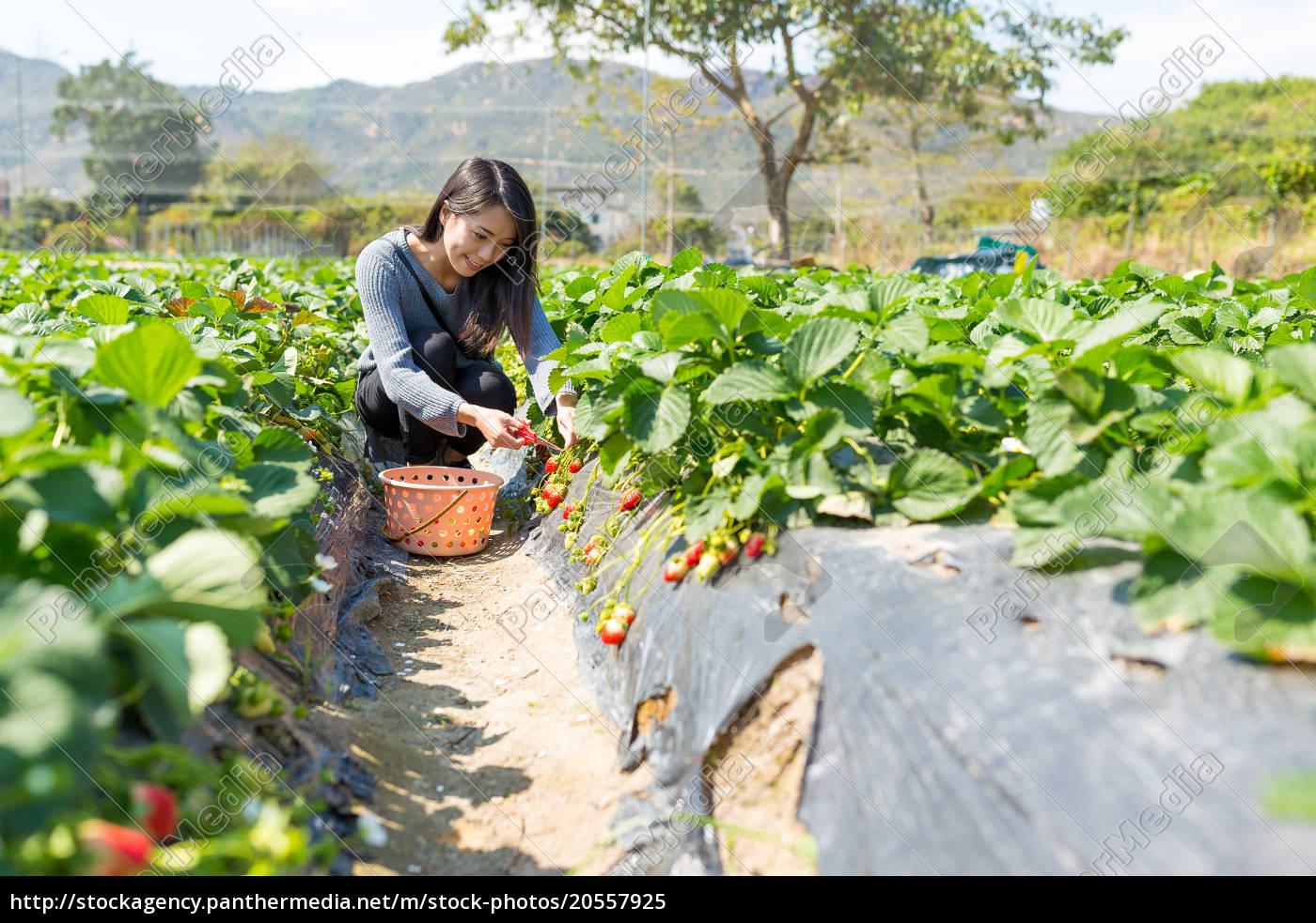 woman, enjoy, picking, up, strawberry - 20557925