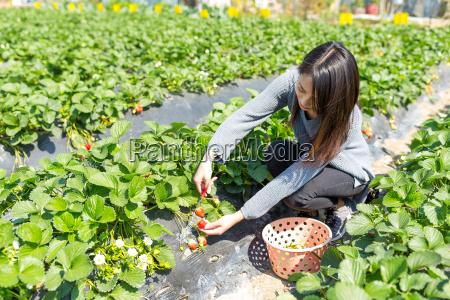 young, woman, picking, strawberry, in, the - 20557923