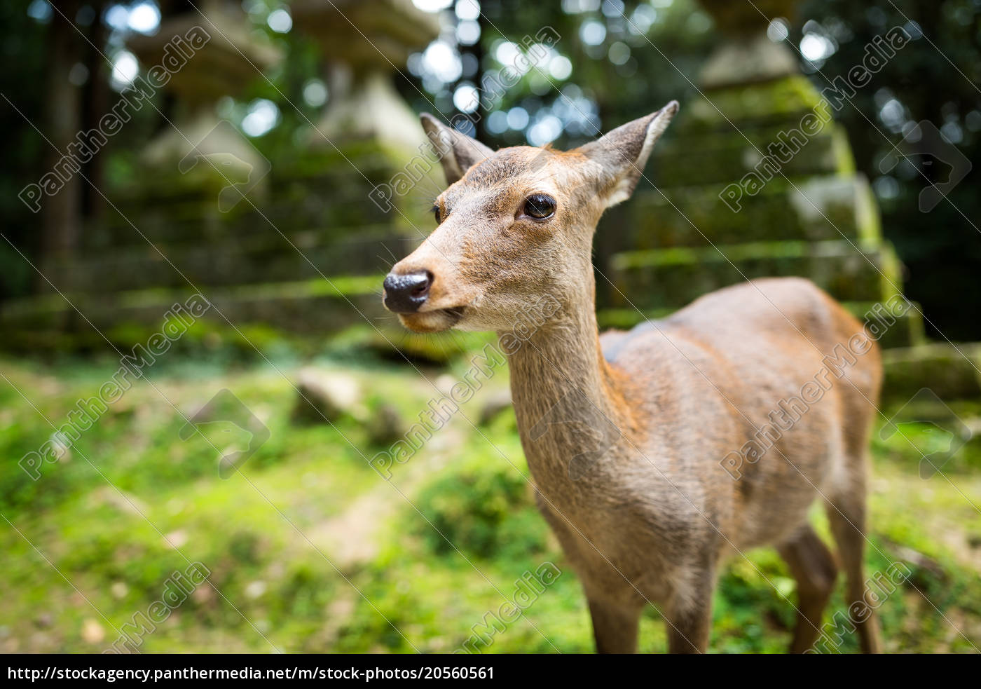 cute, deer, in, japanese, temple - 20560561