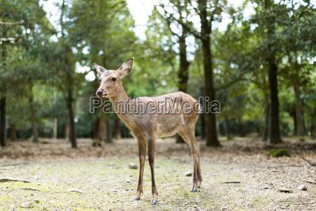 cute, deer, in, nara - 20560553