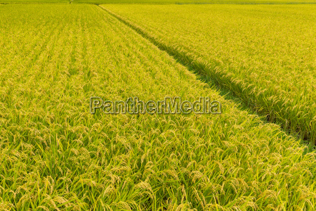 paddy, rice, field - 20560449