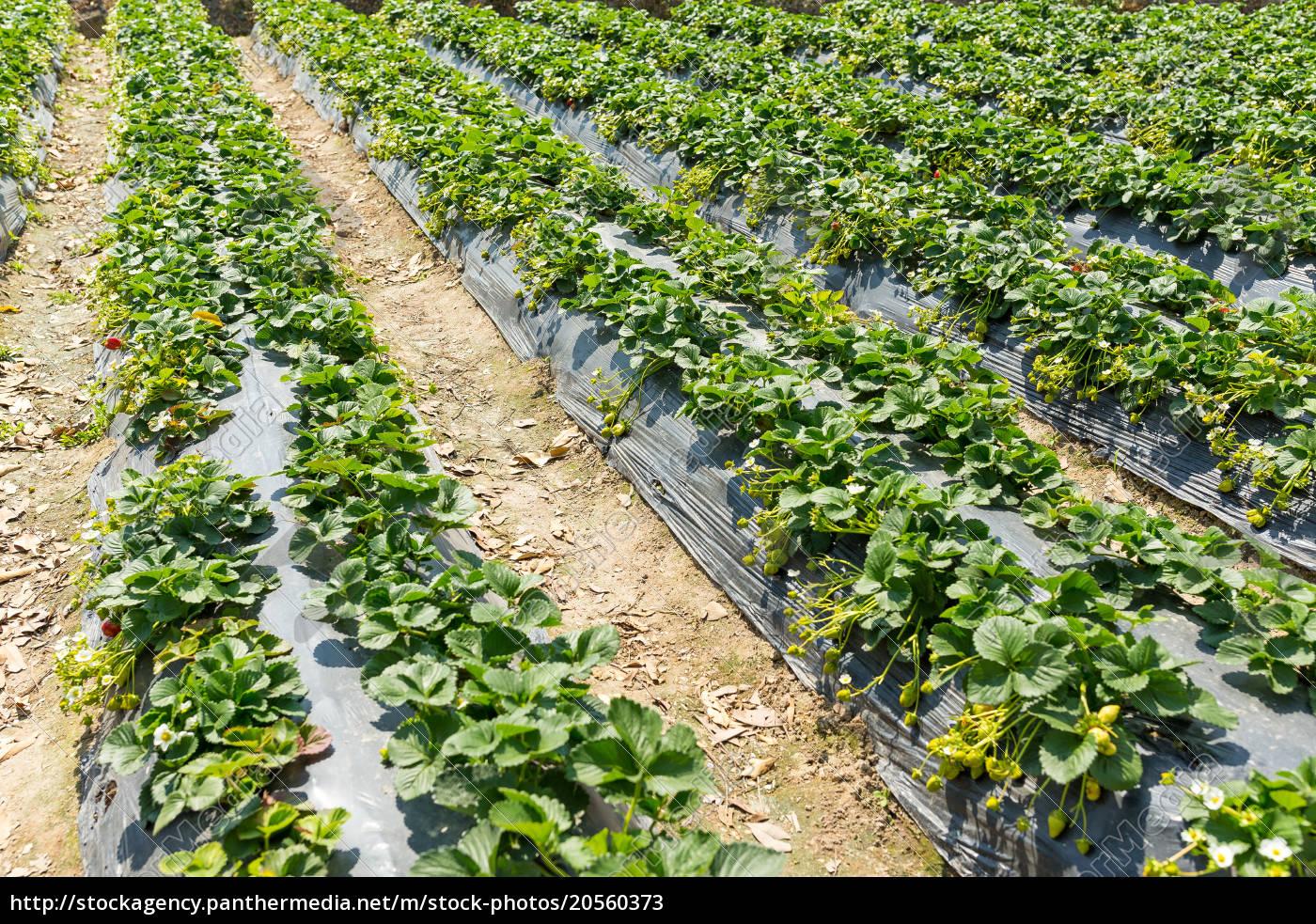 strawberry, field - 20560373