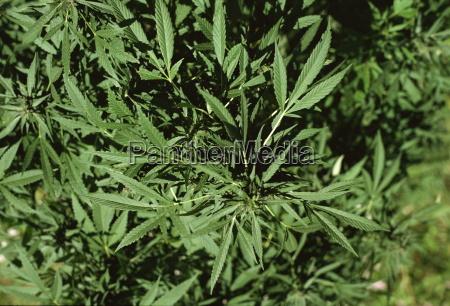 cannabis plant hunza valley pakistan asia
