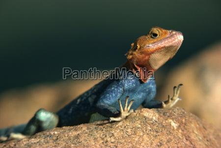 close up of an agama lizard
