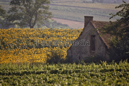 old farm building among sunflowers and