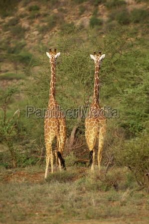 reticulated giraffe samburu national reserve kenya