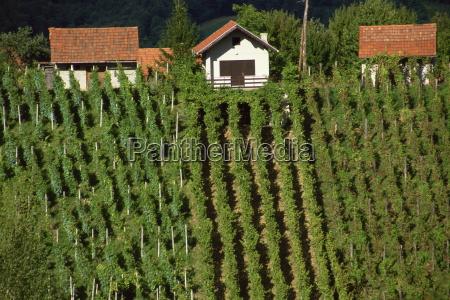 vineyards zagorje croatia europe