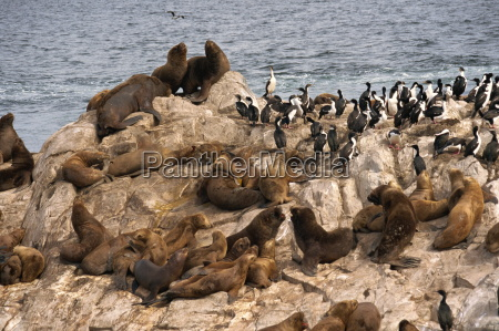 sea lions beagle channel argentina south