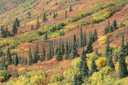 fall colours in taiga spruce willow