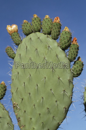 close up of a prickly pear