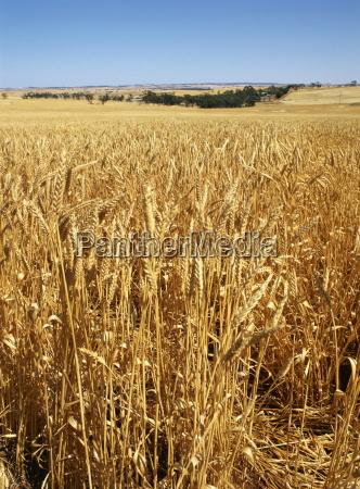vast fields of ripening wheat in
