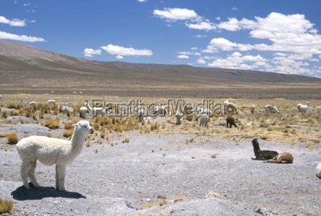 domesticated alpacas grazing on altiplano near