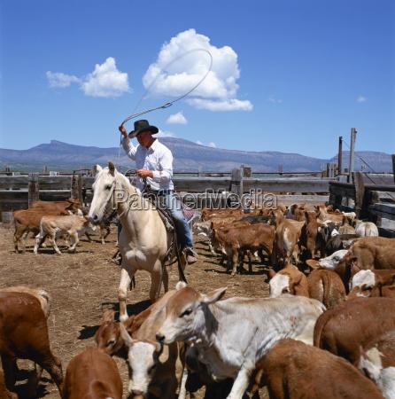 cowboy riding a horse rounding up
