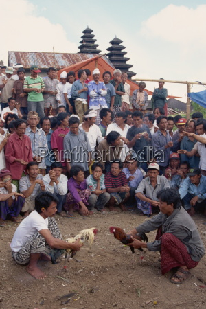 illegal gambling cock fighting bali indonesia