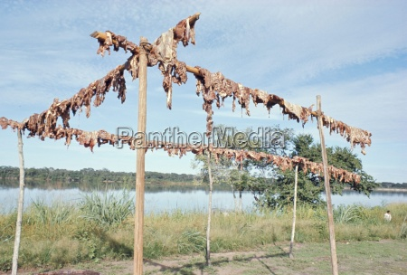 wild boar meat hanging to dry