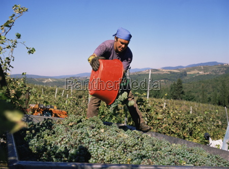 harvesting grapes in the chianti classico