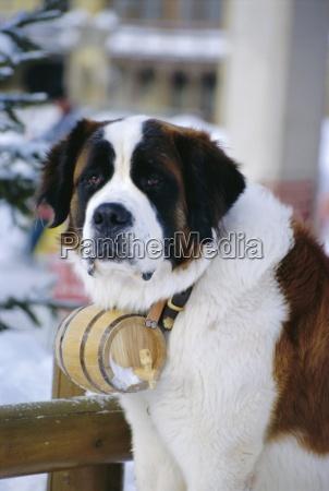 st bernard dog with flask collar