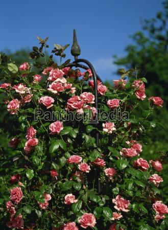 close up of pink climbing roses