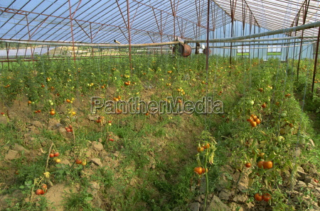 tomatoes in large commercial greenhouse near
