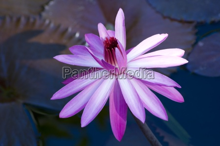 nymphaea pink waterlily flower and dark