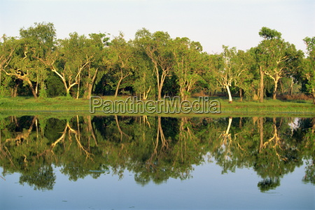 reflections of eucalyptus gum trees on