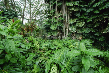 lush vegetation at akaka falls the