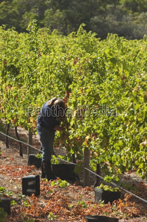grape pickers at a winery vineyard