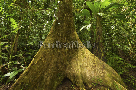 buttress root in jungle at arenal