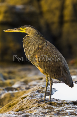 bare throated tiger heron hunting on