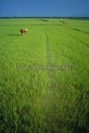 rice paddy fields lang co vietnam
