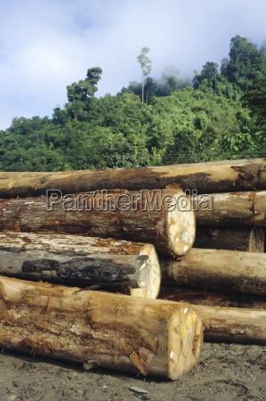 logging in the rain forest hardwood