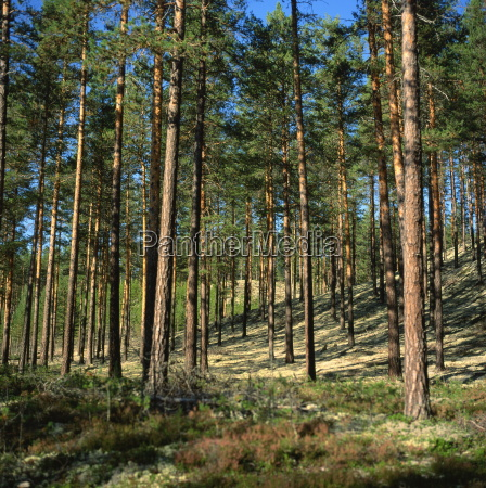 woodland near lillehammer norway scandinavia europe