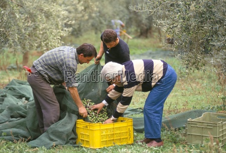 michele galantino gathering olives for fine